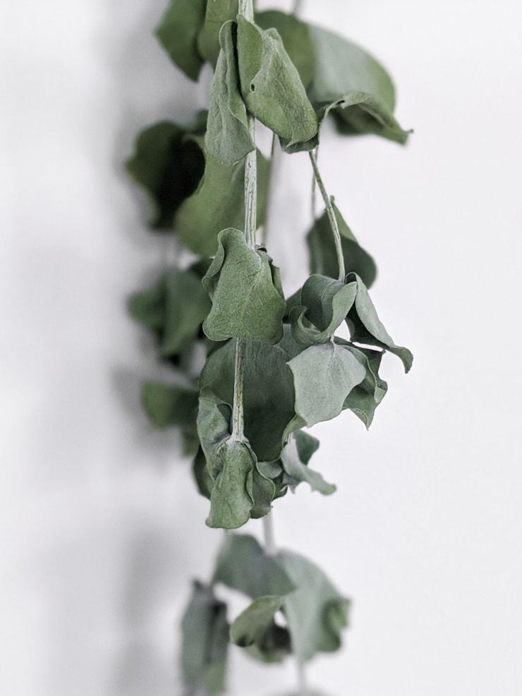 closeup of eucalyptus leaves drying
