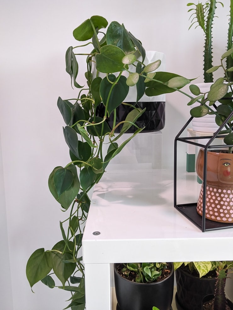 Philodendron trailing from planter on shelf