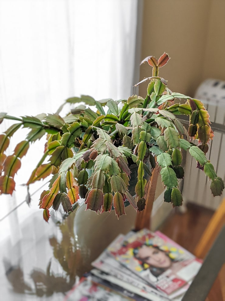 holiday cactus care