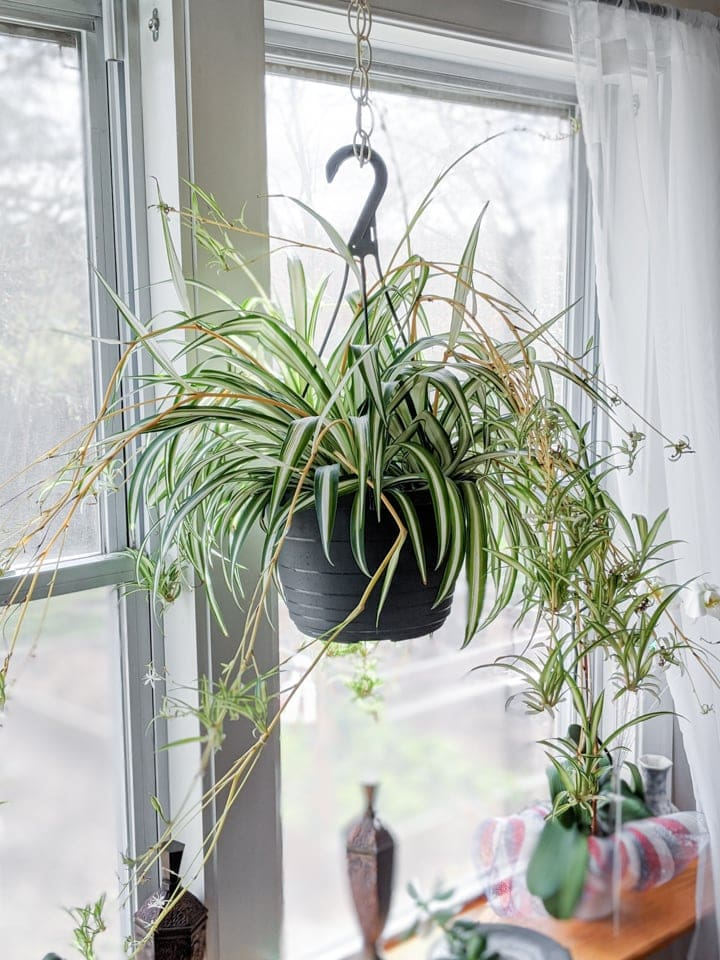 Spider plant in hanging planter in front of window