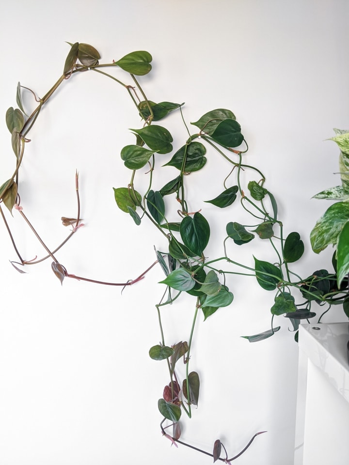 Heart-leaf philodendron vining in the wall