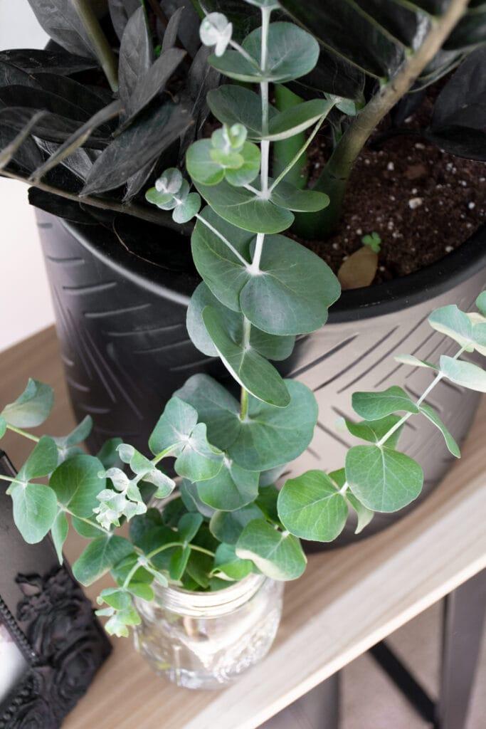 closeup of eucalyptus leaves