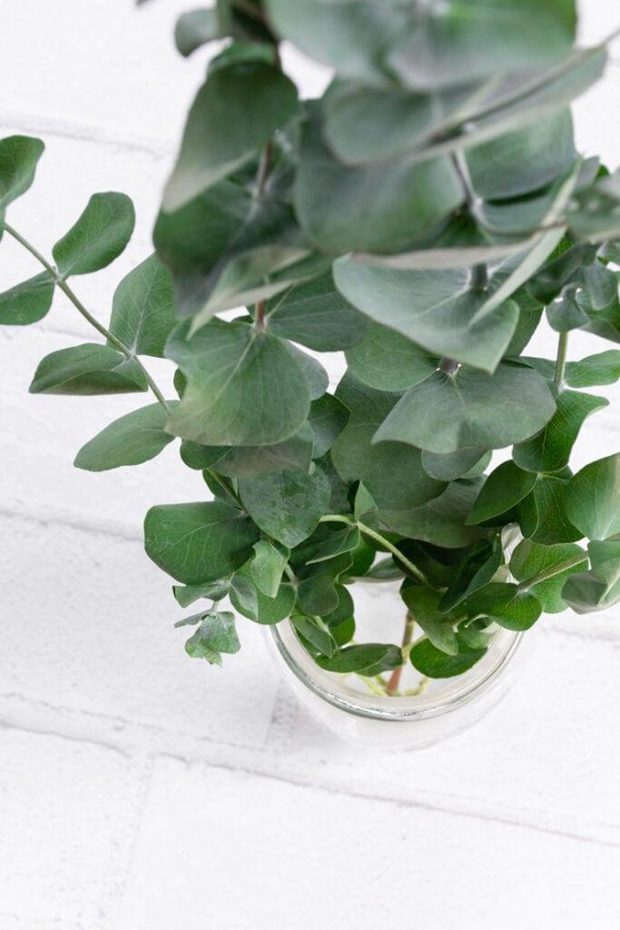 How to preserve eucalyptus using glycerin