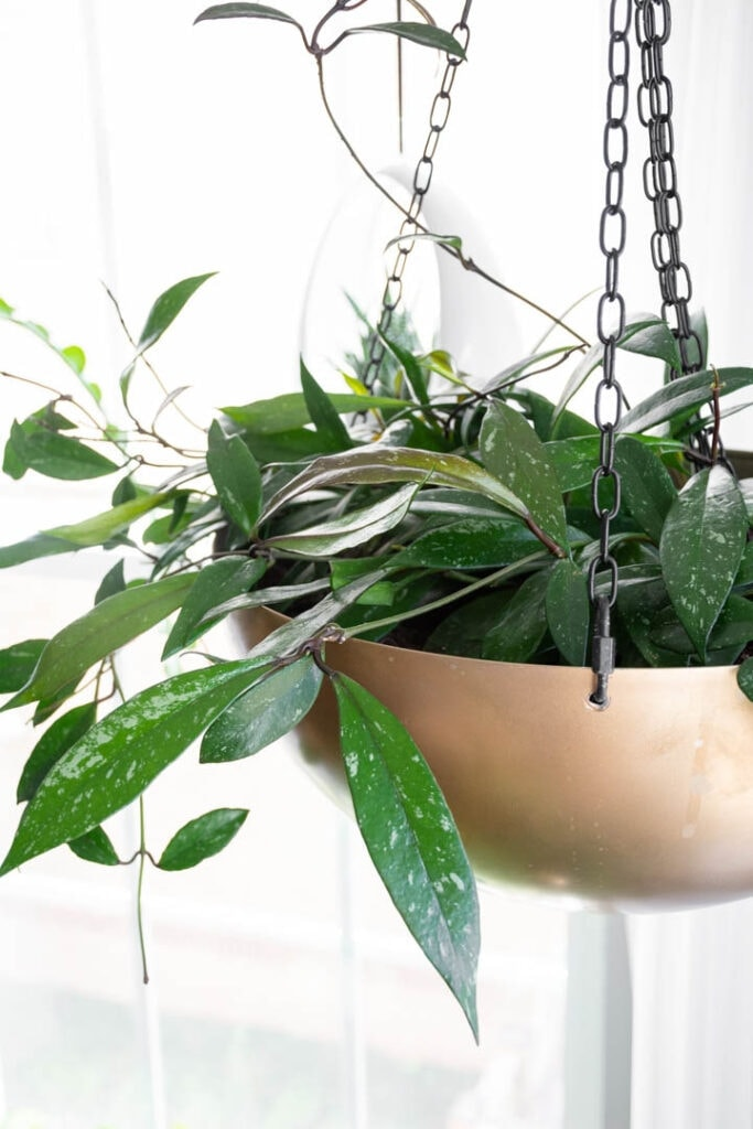 Hoya Carnosa indoor hanging plant in gold planter hanging in front of window