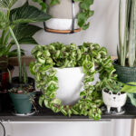 Hoya Rope Plant Care: All About This Unique Plant!