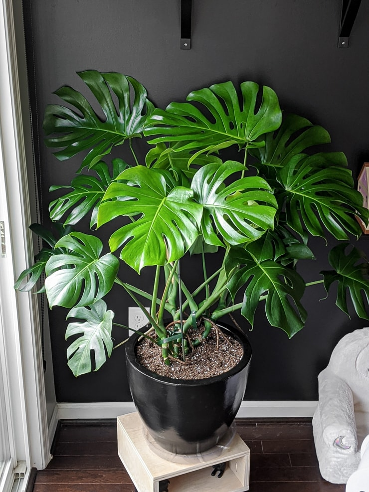 large beautiful monstera houseplant in a black pot