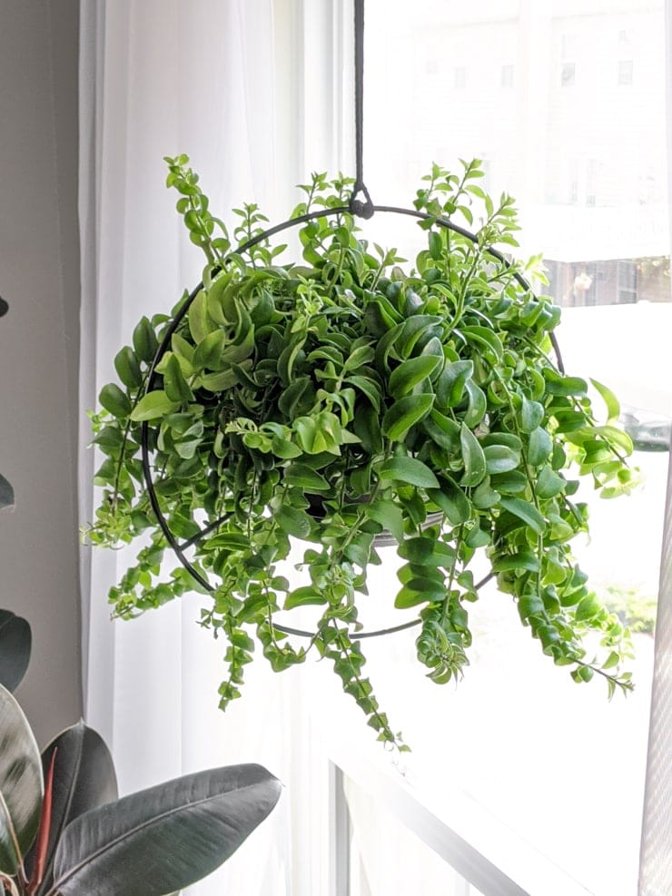Lipstick plant in hanging planter in front of window