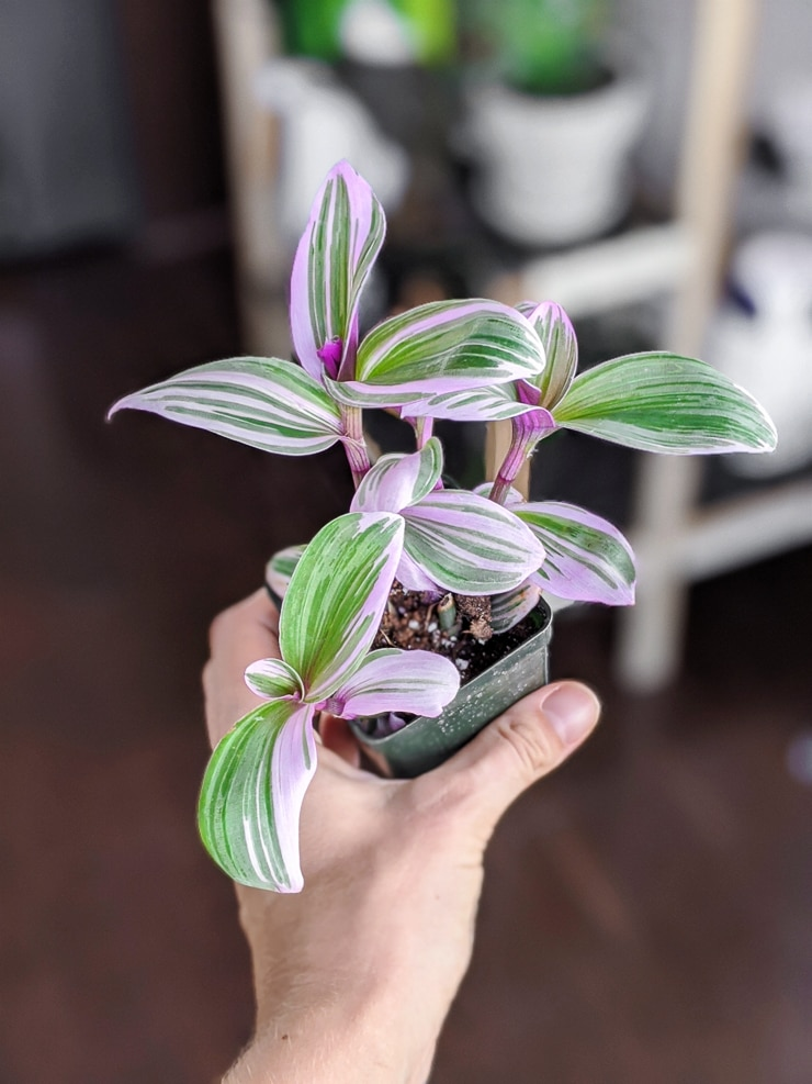 Tradescantia Nanouk Care and Propagation