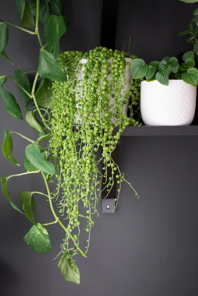 String of pearls cascading down the sides of white planter sitting a shelf