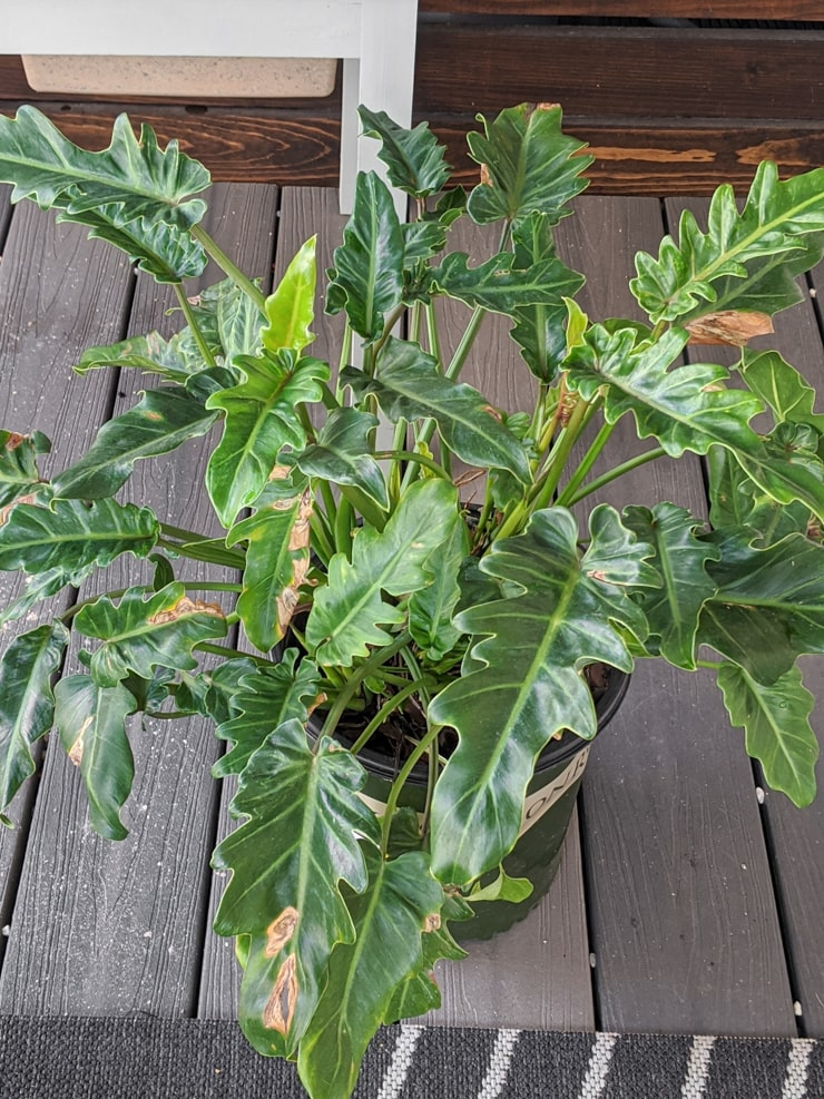 Save a Dying Houseplant From the Clearance Shelf