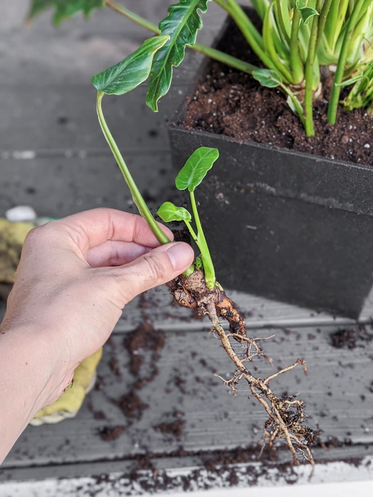 small plant with roots exposed