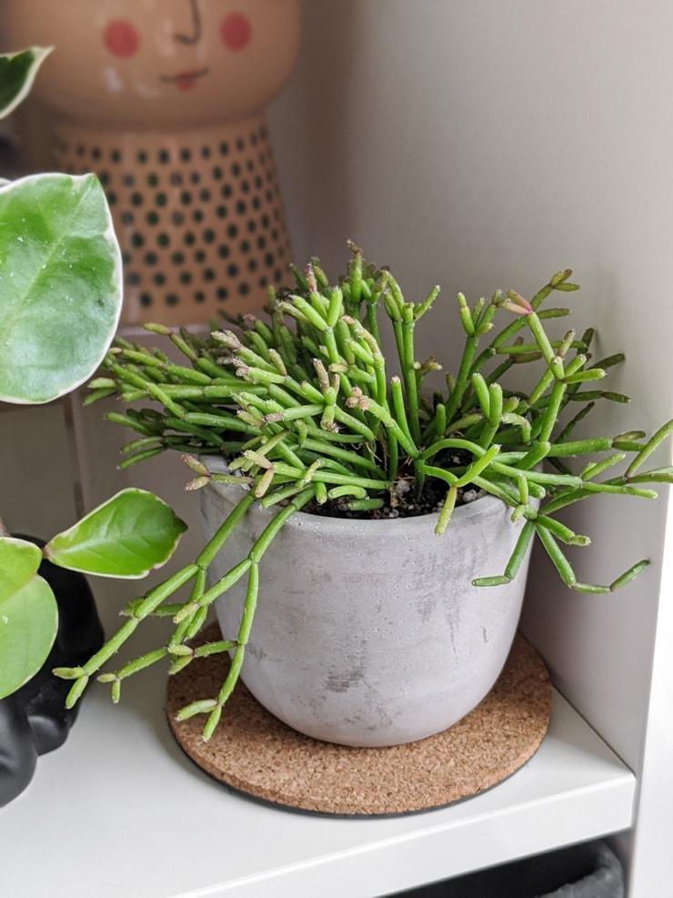 small rhipsalis plant