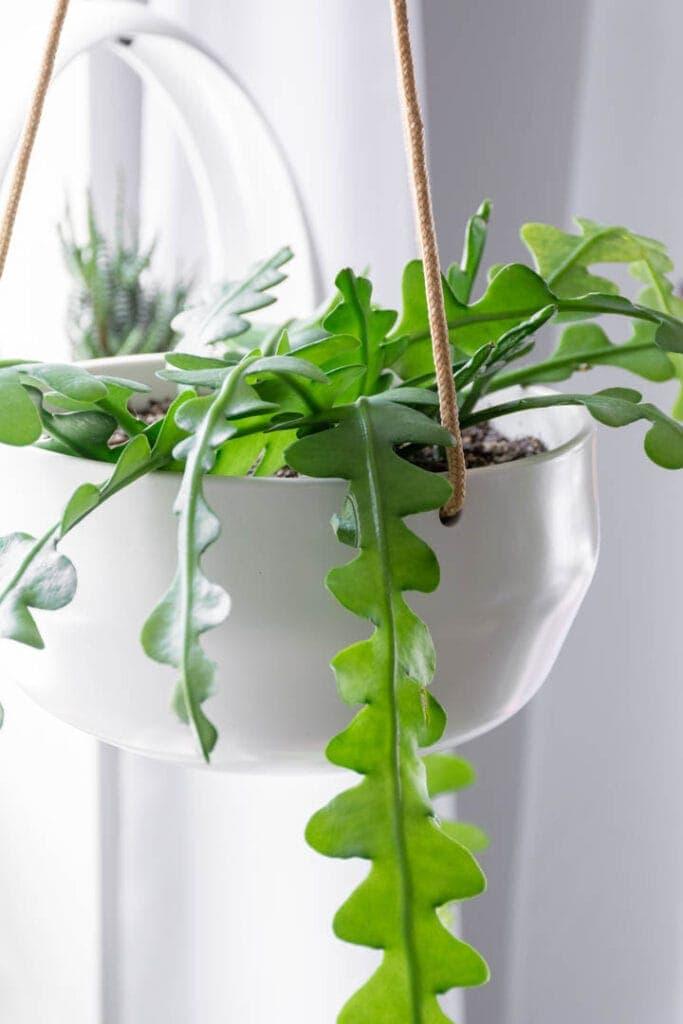 Indoor hanging ric rac cactus in white hanging planter in front of window