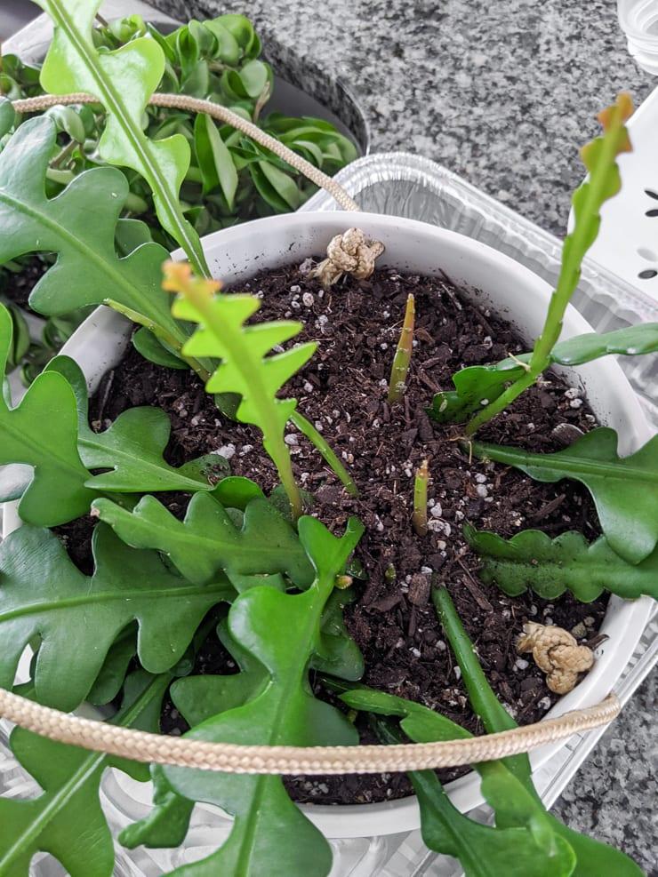 new growth on a ric rac cactus