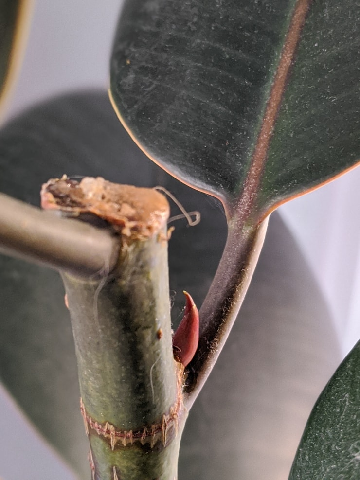 brand new growth on a rubber plant