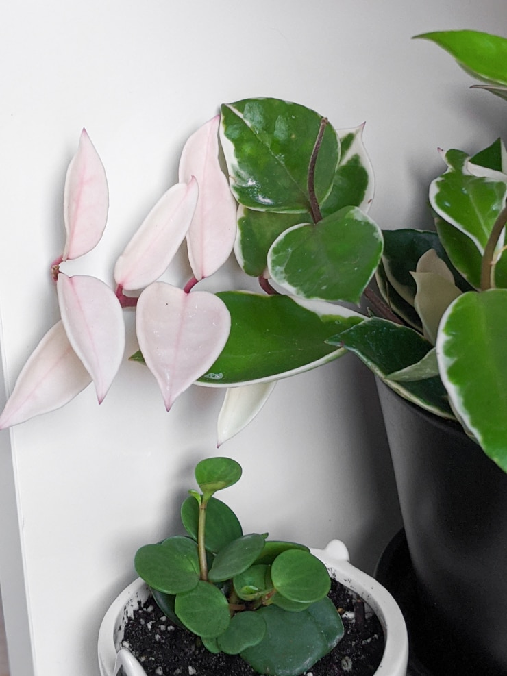 hoya carnosa variegated with pink and white