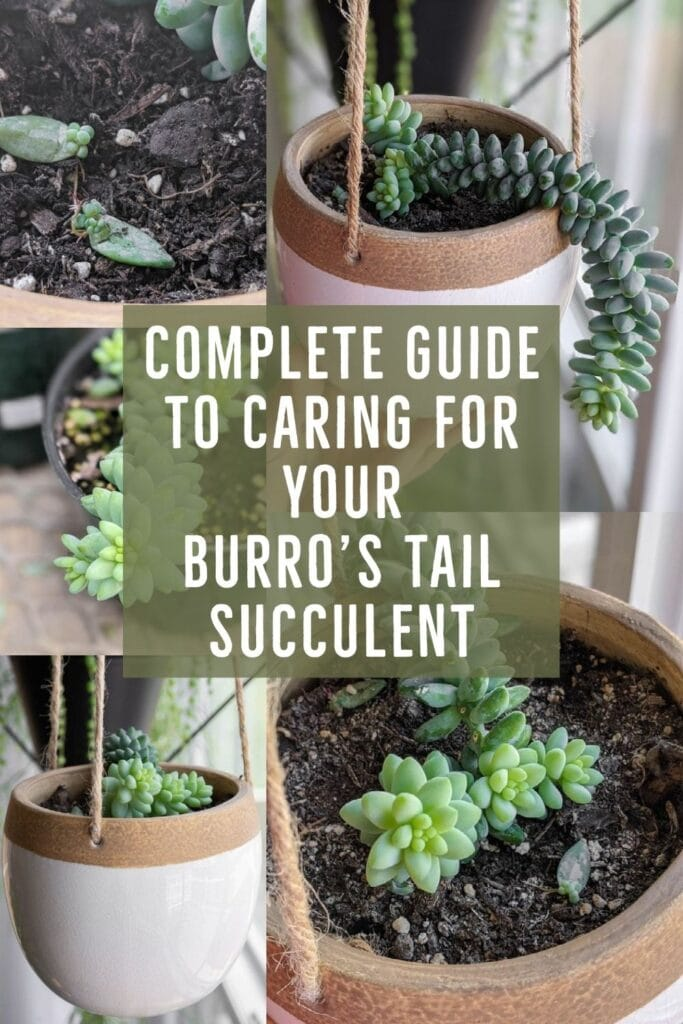image collage of burro's tail succulents with text Complet Guide to caring for your burro's tail succulent