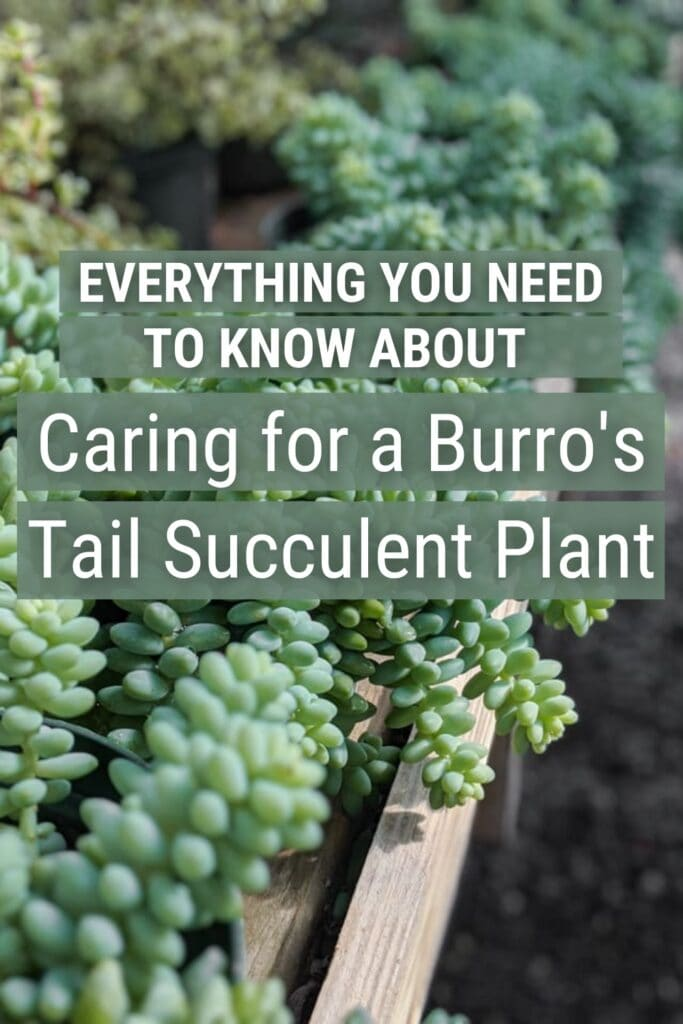 Burro's tail succulent plants with text Everything you need to know about caring for a burro's tail succulent