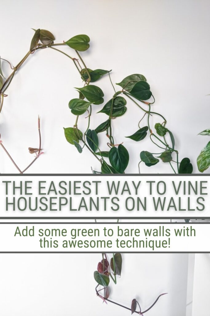 image of plant vine on white wall with text The Easiest Way To Vine Houseplants on Walls Add som green to care walls with this awesome technique