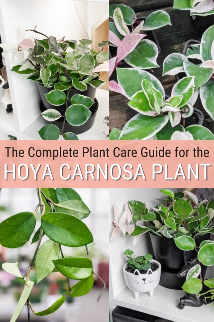 image collage of Hoya Carnosa plants with text The complet plant care guide for the Hoya Carnosa Plant