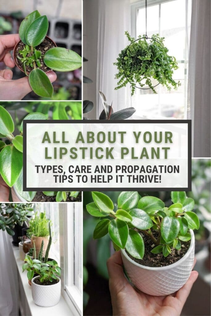 image collage of lipstick plant care with text all about your lipstick plant, types, care and propagation tops to help it thrive