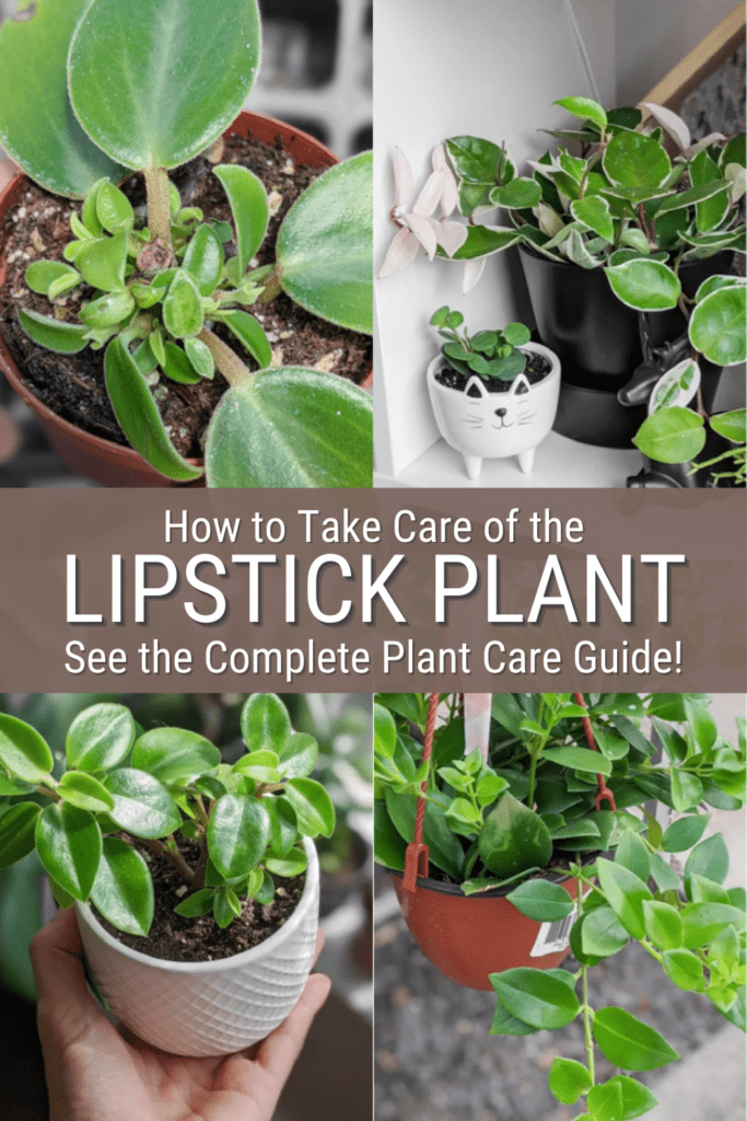 image collage of lipstick plants with text how to take care of the lipstick plant see the complete plant care guide