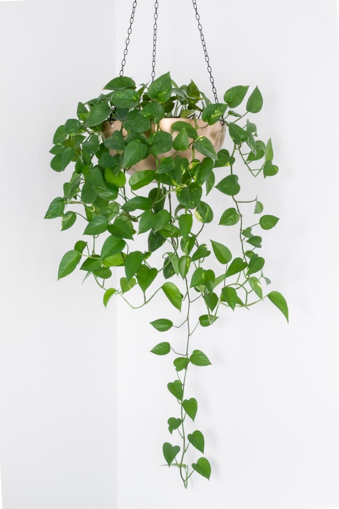pothos hanging indoor plant in gold post hanging from the ceiling