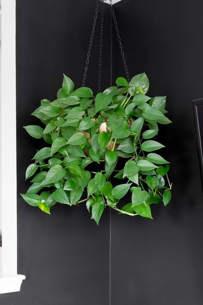 pothos hanging plant in gold pot hanging from ceiling against a black wall