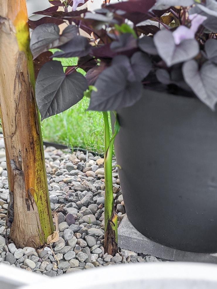 banana plant pup