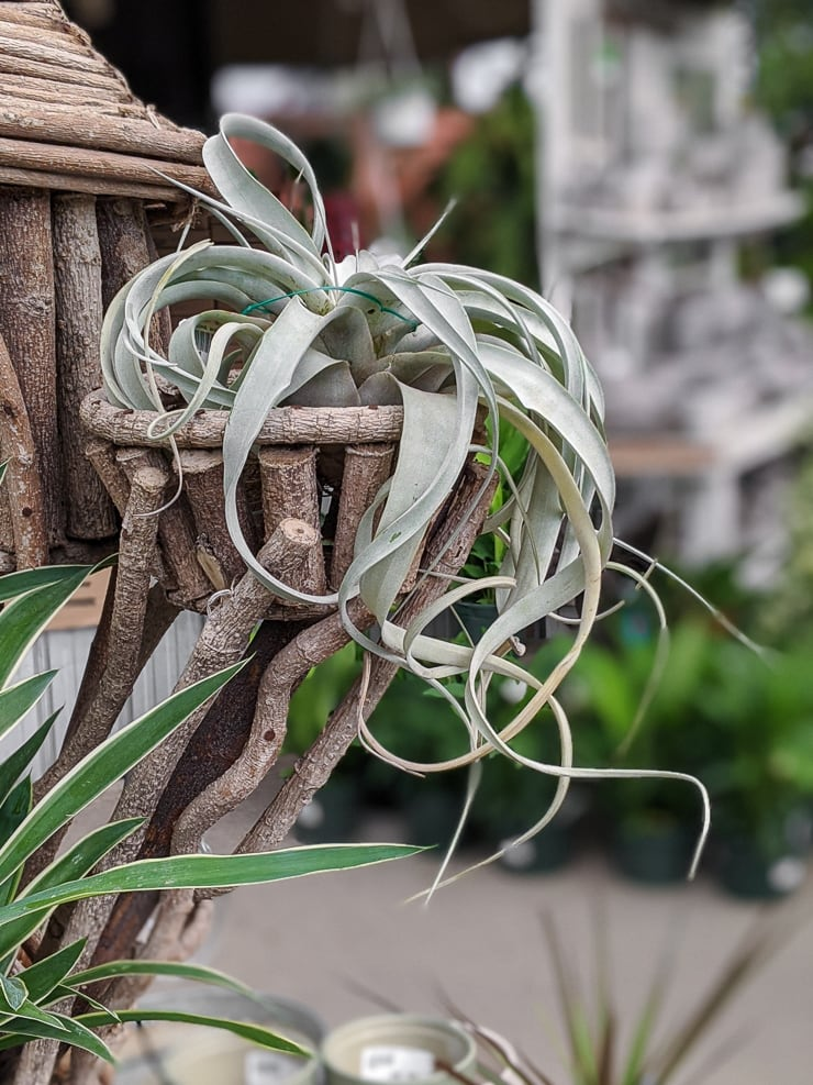air plant on driftwood