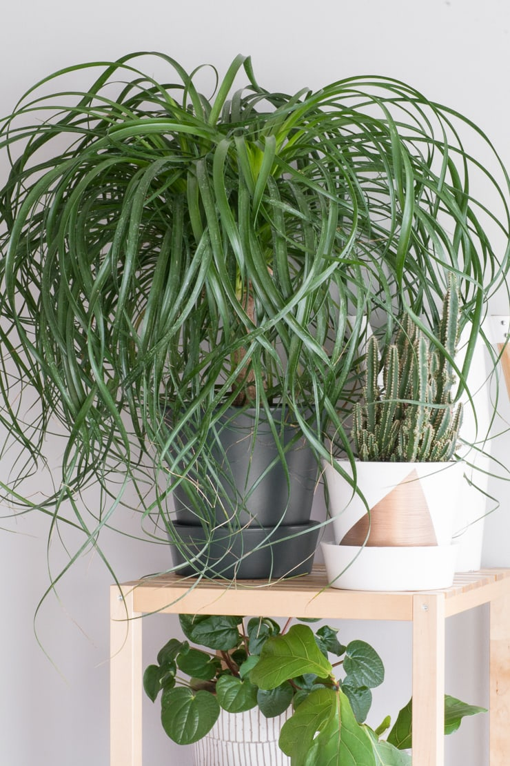 non-toxic plants for cats ponytail palm