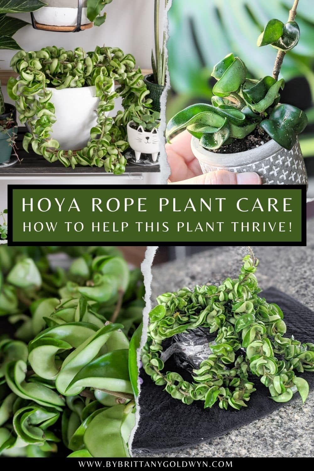 pinnable graphic with pictures of a hoya carnosa compacta plant and text overlay about how to care for the hoya rope plant