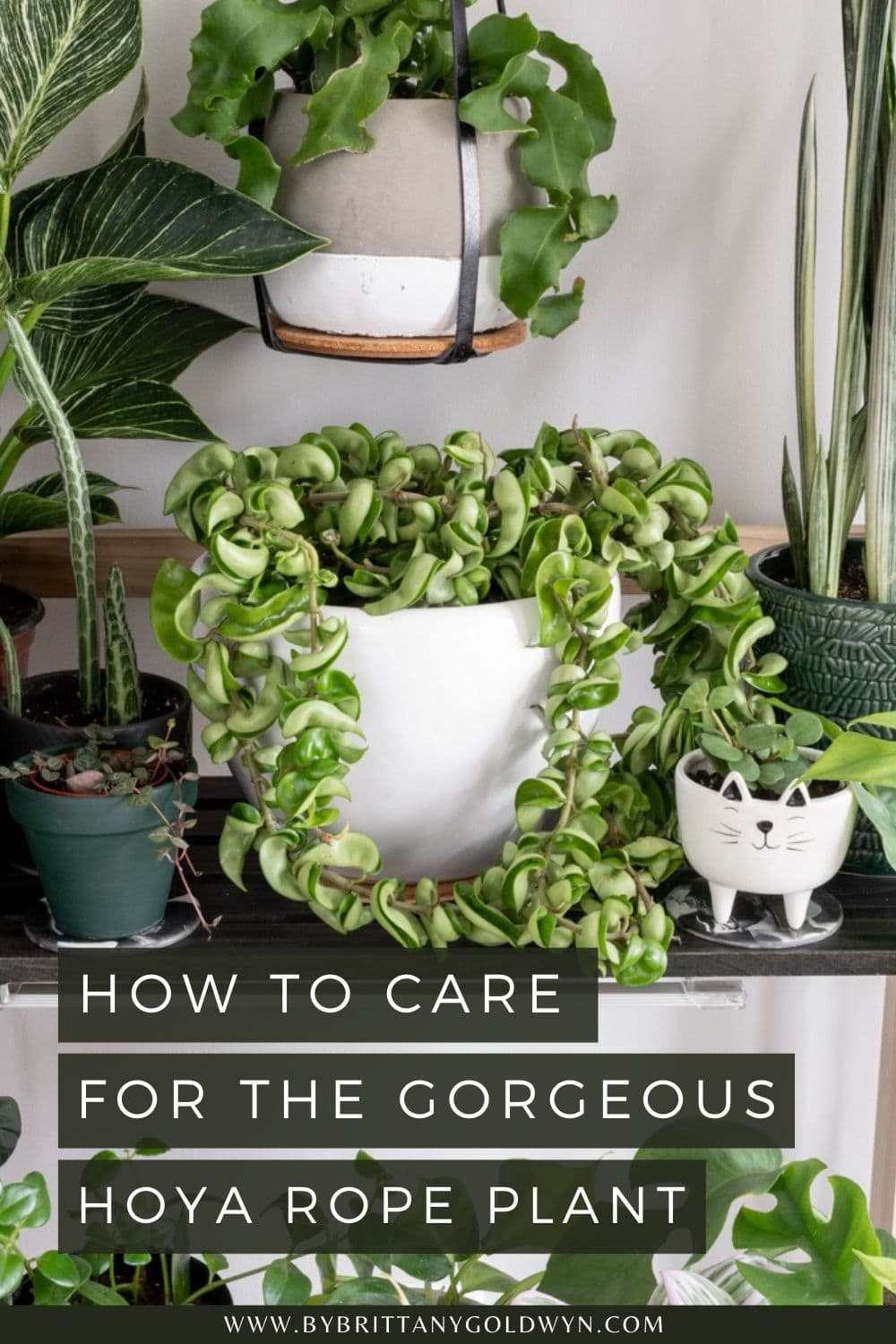 pinnable graphic with picture of a hoya carnosa compacta plant and text overlay about how to care for the hoya rope plant