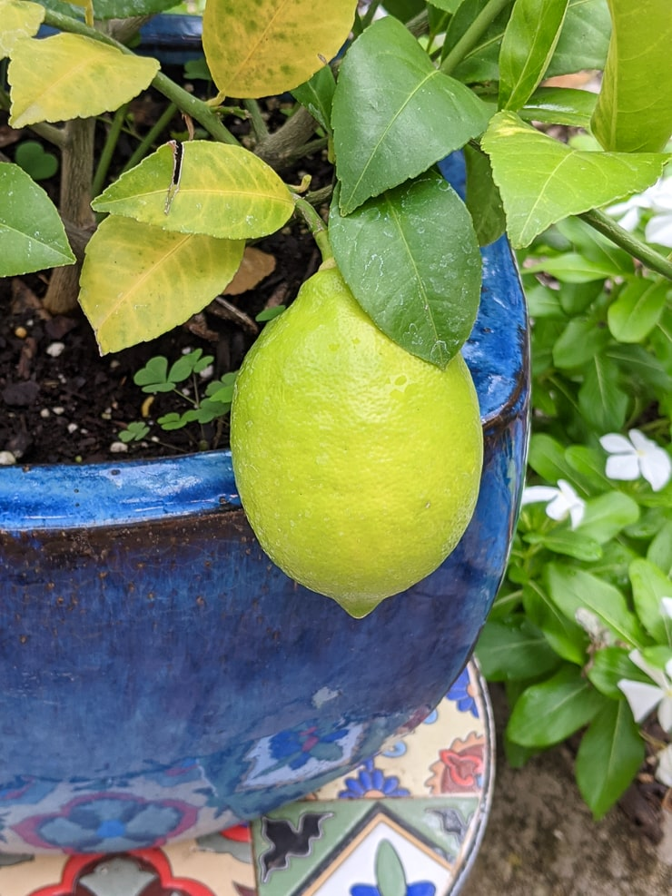 meyer lemon turning yellow