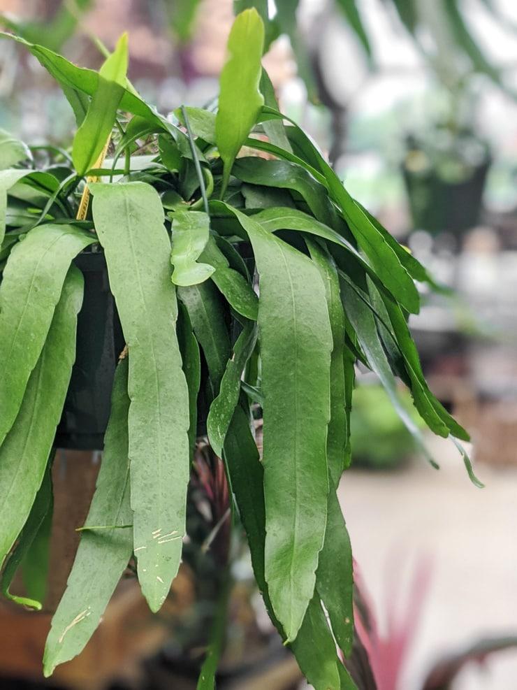 large Epiphyllum Oxypetalum