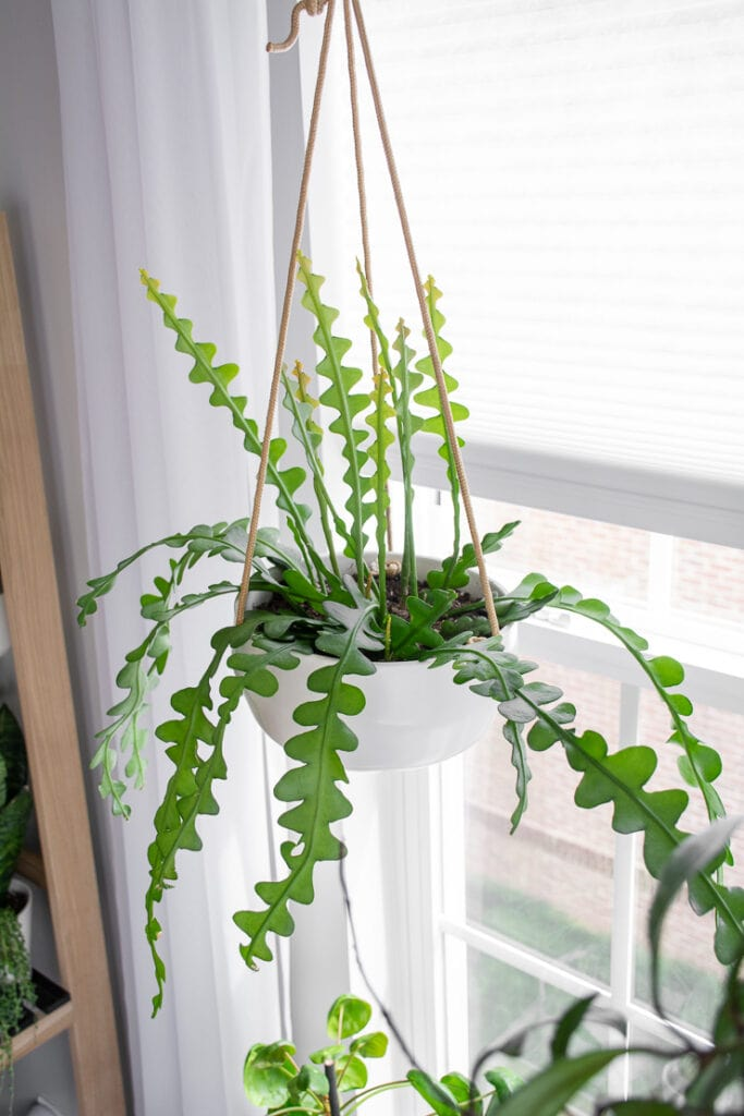 fishbone cactus in a hanging planter