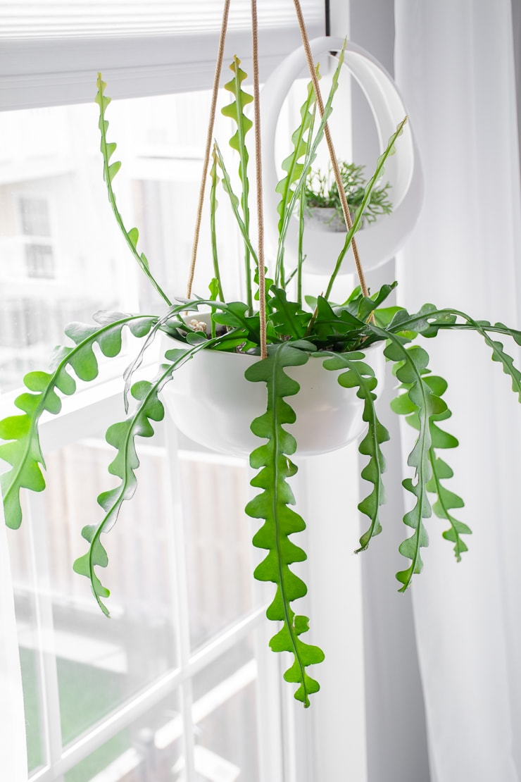 Beautiful hanging ric rac cactus in a planter with a covered drainage hole