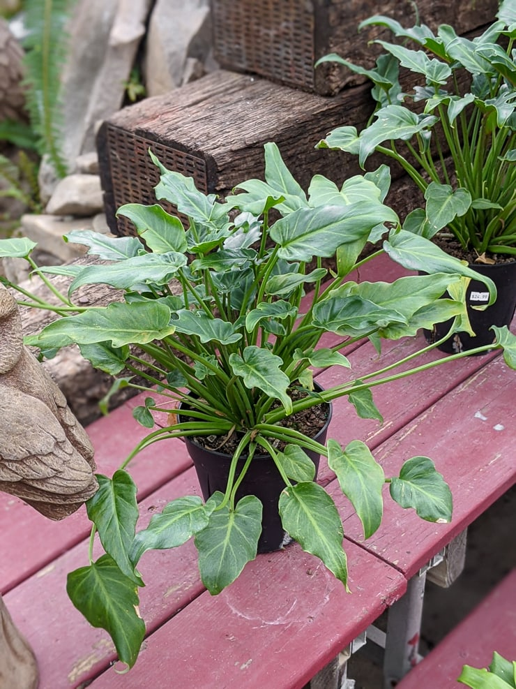 Philodendron xanadu care
