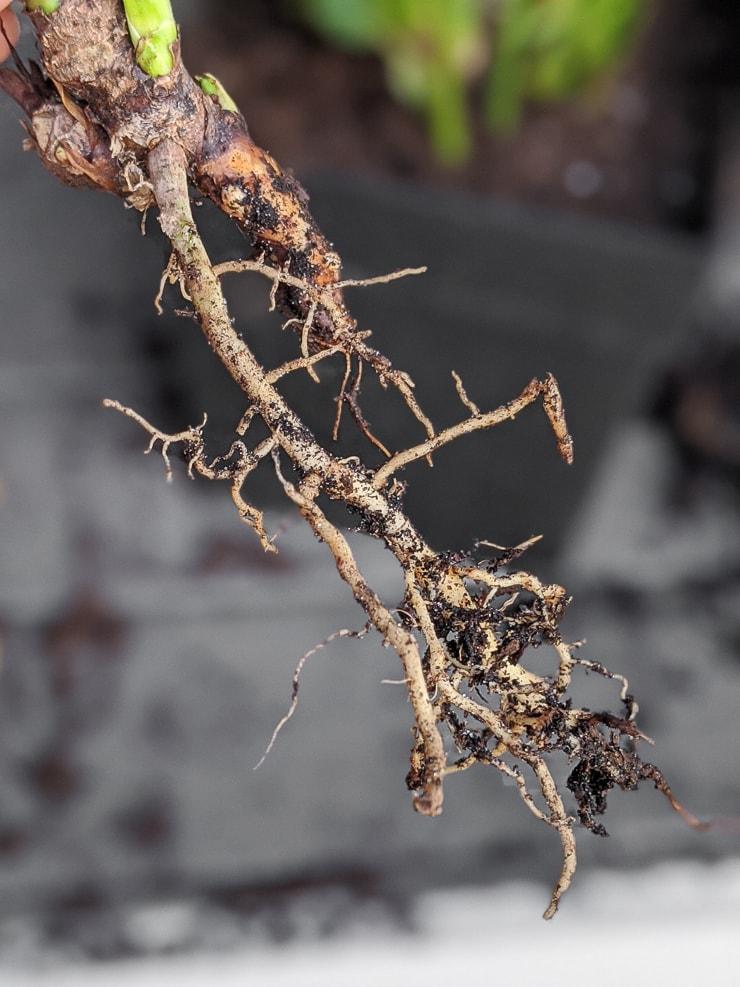 philodendron xanadu propagation