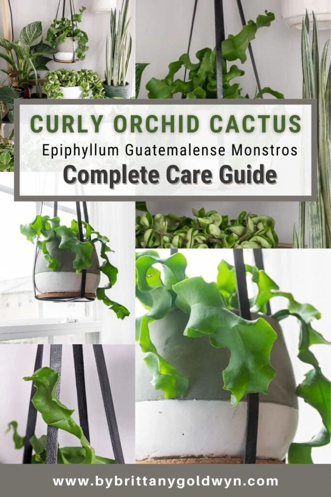 image collage of curly orchid cactus with text overlay