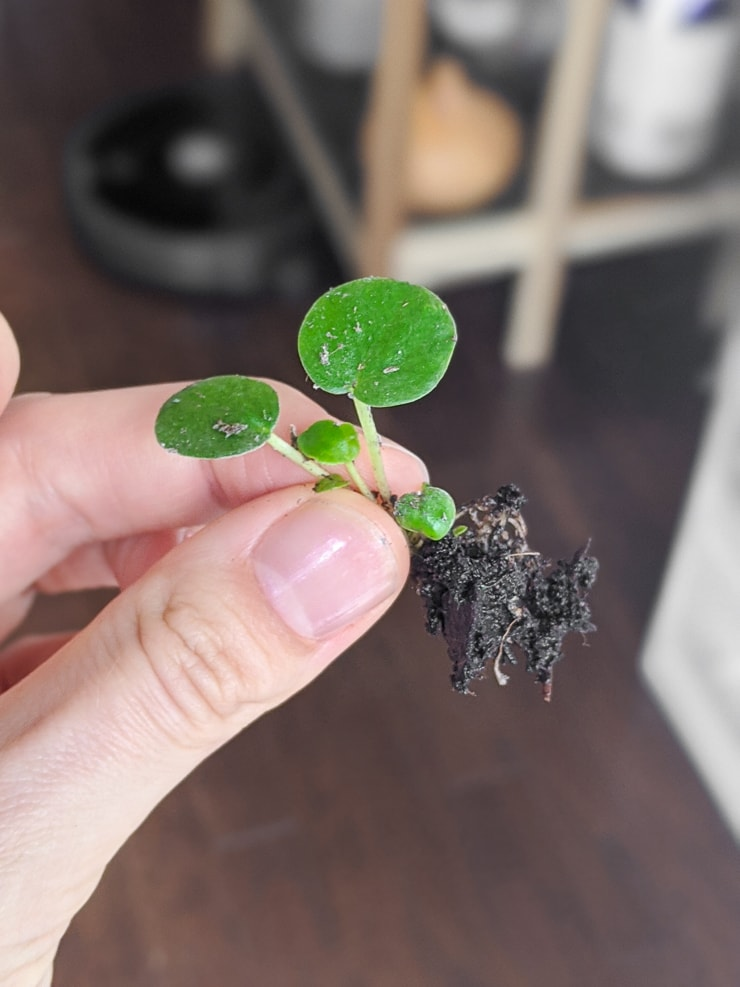 baby peperomia plant propagation