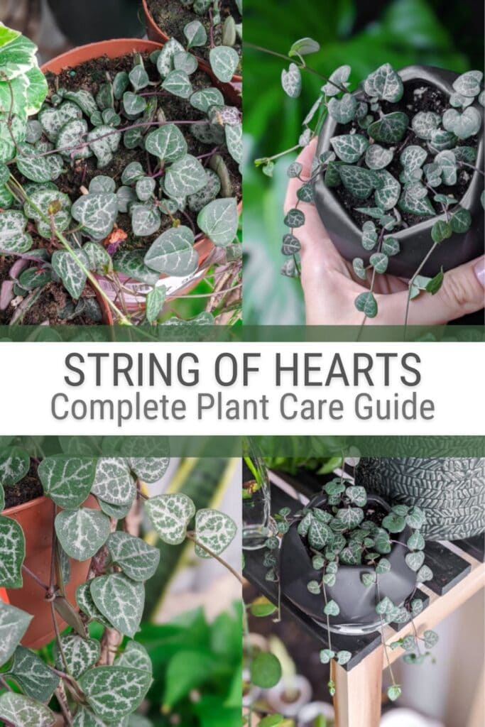 image collage of string of hearts plant with text String Hearts Complete Plant care Guide