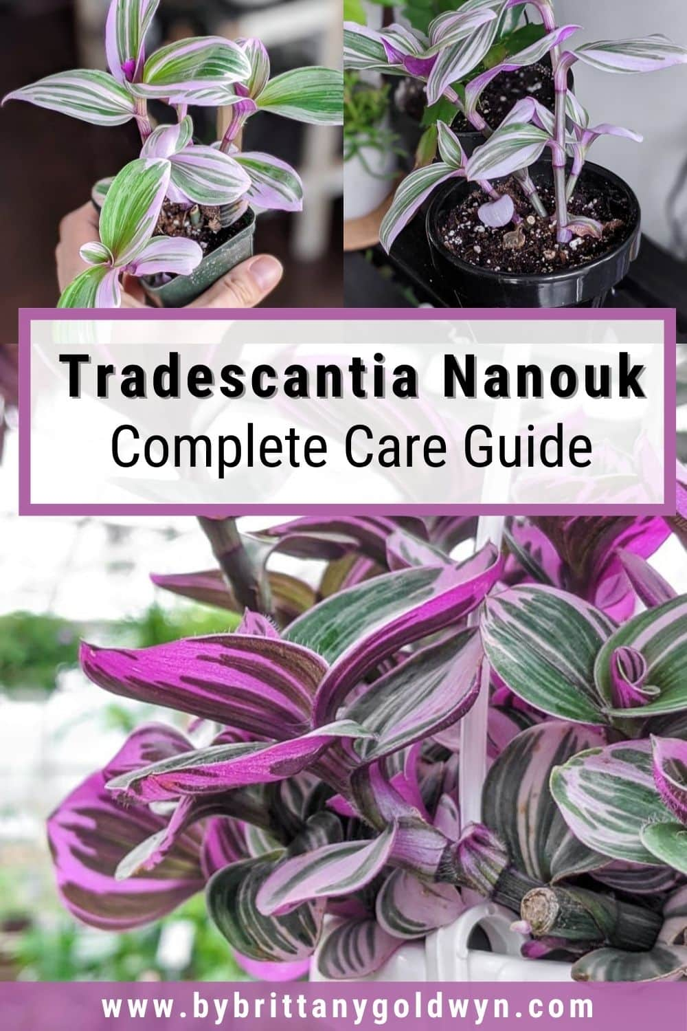 image collage of tradescantia nanouk with text overlay