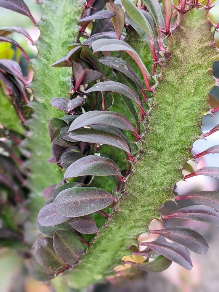 closeup of an African milk tree