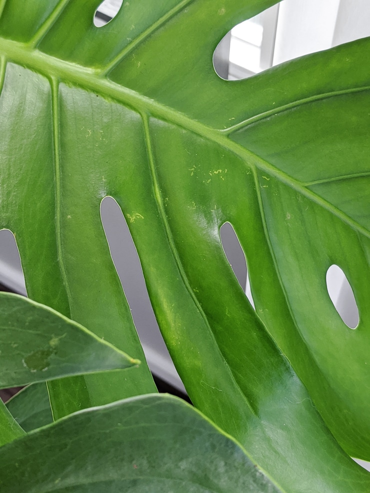 monstera leave with some minor discoloration