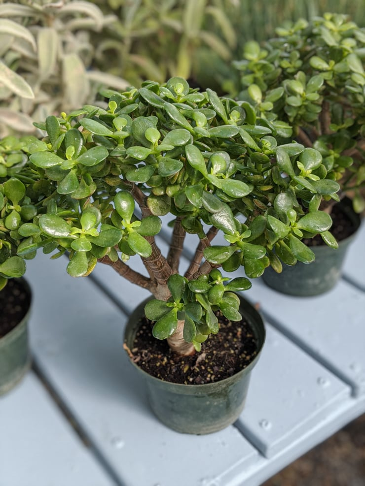 caring for a jade plant outside