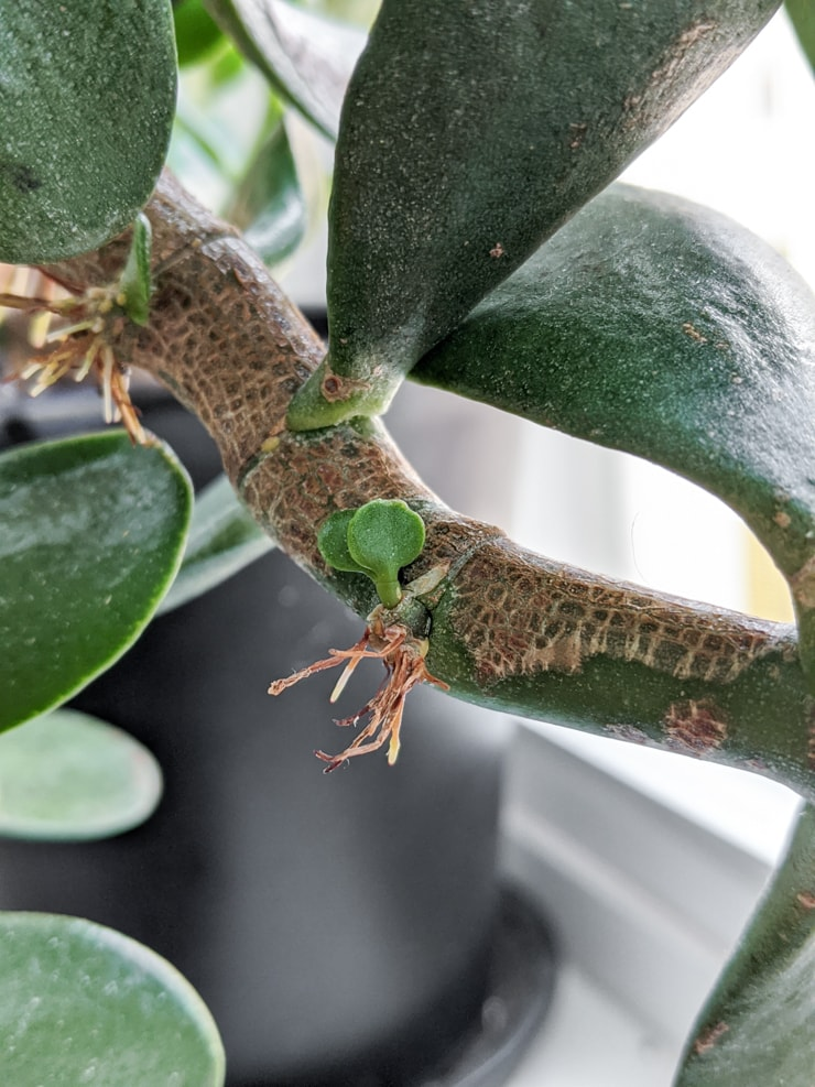 new leaves sprouting from a stem on a jade plant