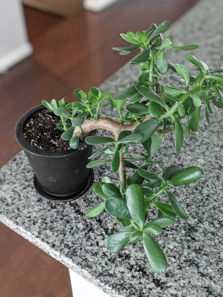 jade plant branch propagation