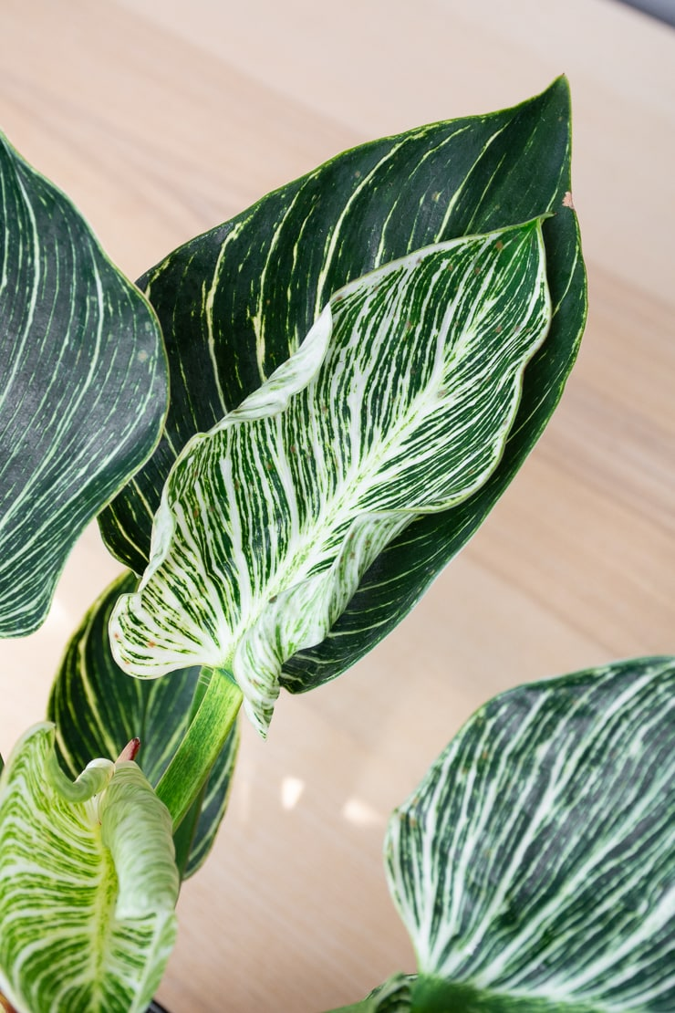 Philodendron Birkin leaf