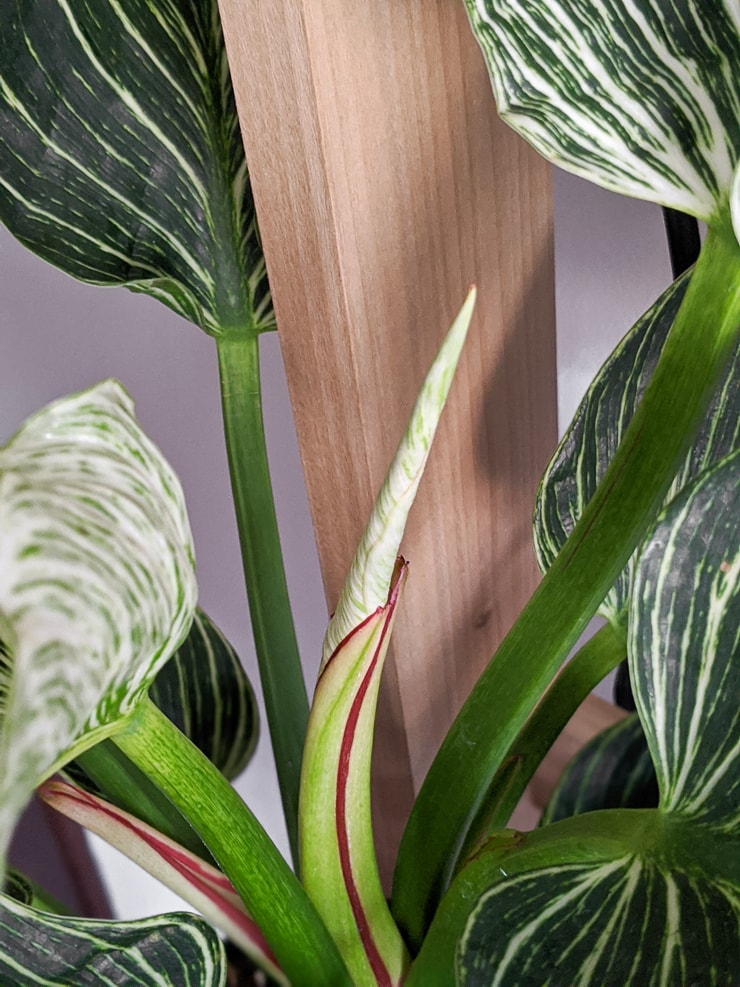 New Philodendron Birkin leaf unfurling